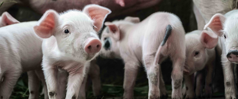 Desulo, i maiali risorgono dalla peste suina